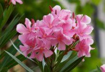 arali flower