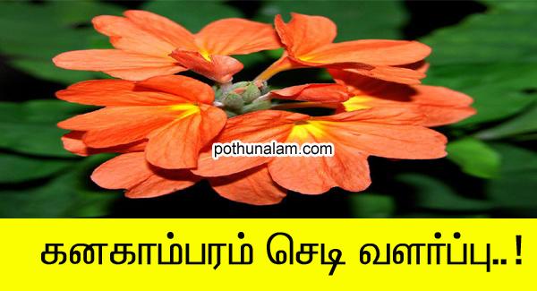 கனகாம்பரம் செடி வளர்ப்பு
