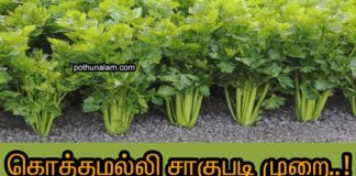 coriander cultivation