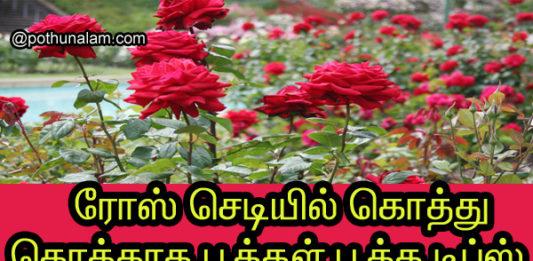 ரோஜா செடி நன்கு வளர