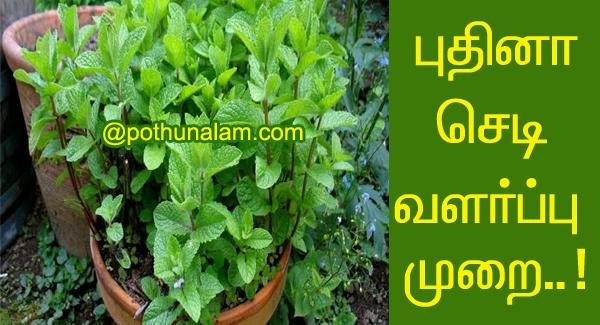 Pudina valarpu in tamil