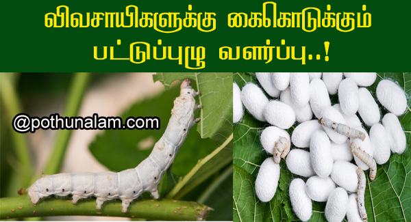 Sericulture cultivation in tamil