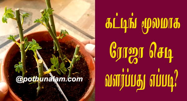 How to grow rose from cuttings in tamil