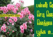 Paneer Rose Plant Growing Tips