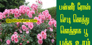Paneer Rose Plant Growing Tips