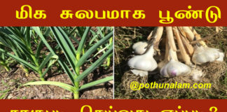 Garlic cultivation in tamil
