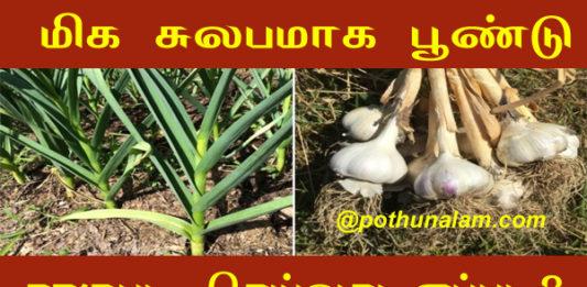 Garlic cultivation in tamil