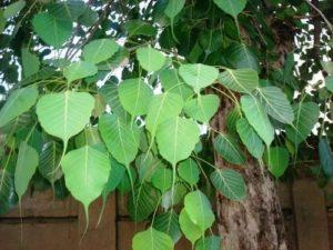 Peepal Trees Uses