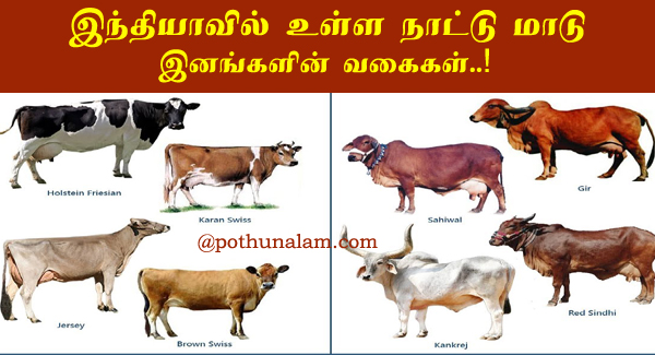 Types of Cow Breeds in Tamil