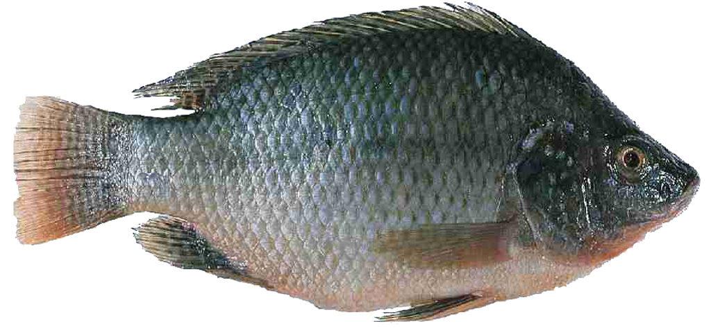 திலாப்பியா மீன்