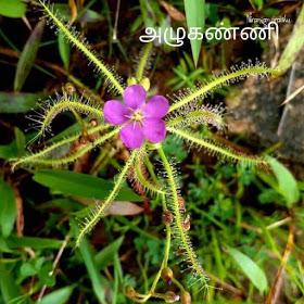 drosera burmannii uses