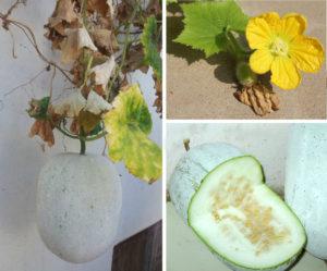 Ash Gourd, Winter Melon