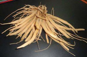Asparagus-Racemosus-Roots