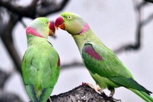 Parrot Names Male