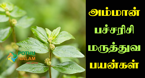 Amman Pacharisi Uses in Tamil